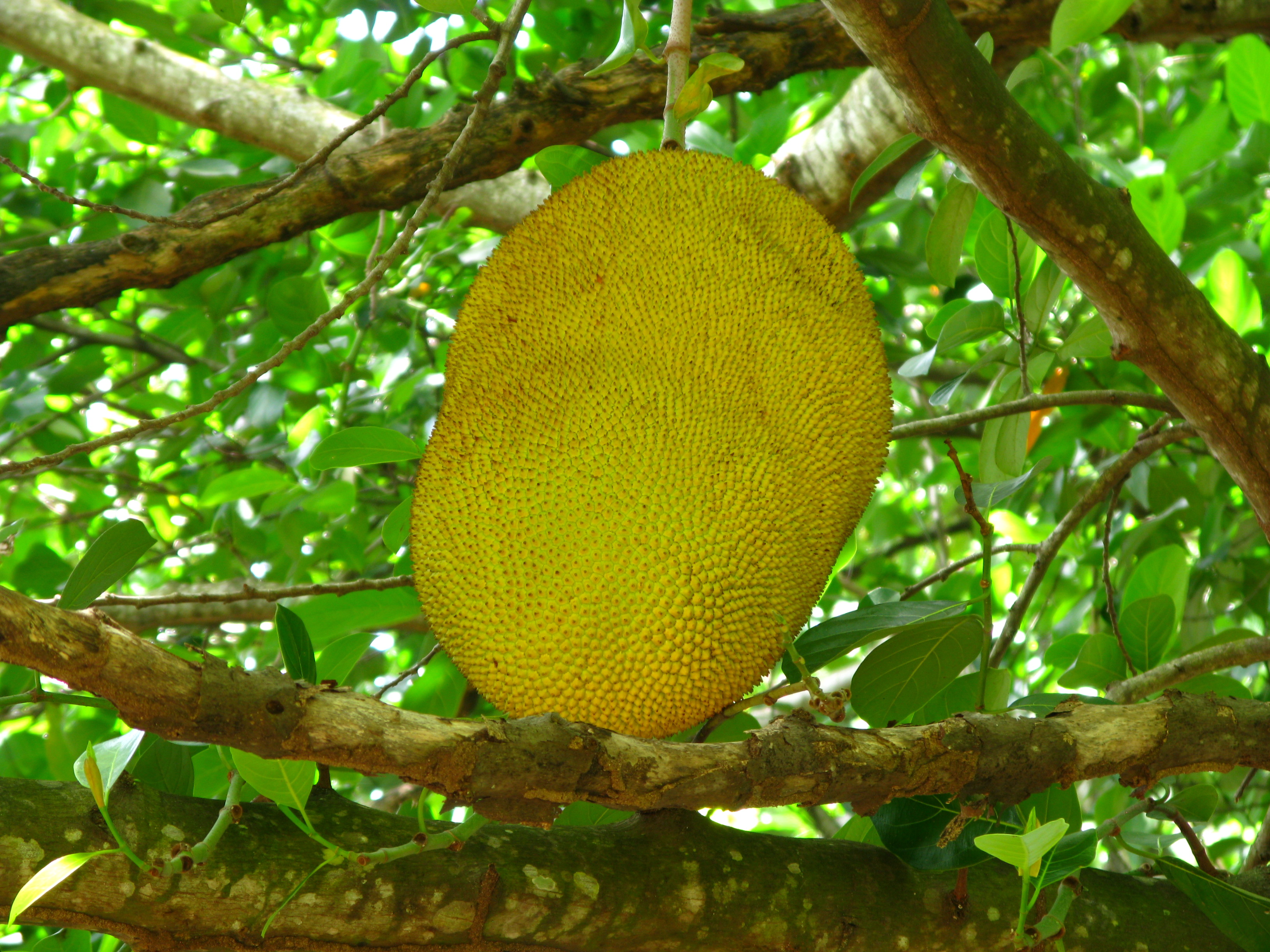 jackfruit: largest tree-borne fruit essay Jackfruit, or artocarpus heterophyllus, is the largest tree-borne fruit in the world, growing to the hefty weight of 80 pounds it is also the national fruit of bangladesh and may have been cultivated in india as early as 6,000 years ago related to the breadfruit and marang, its buttery flesh is thick with fiber and.